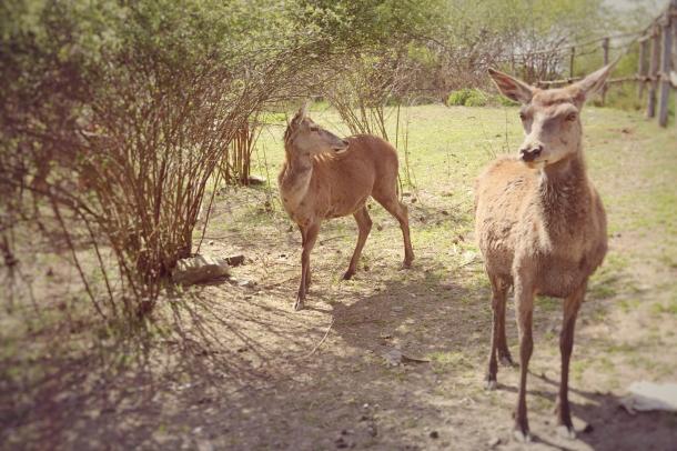 IMG_5430_deers